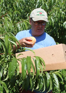 Kitt Plummer has been busy keeping his Hazelton Orchards farm stand in Chester supplied with his popular varieties of peaches as the havesting season has begun for local orchards. Photo by Chris Paul