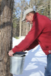 Brian Folsom begins the process of tapping approximately 500 maple trees in the area to produce maple syrup.